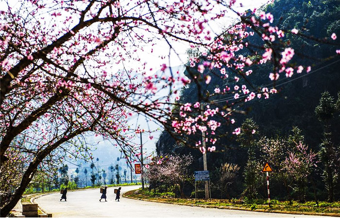 4-seasons-in-ha-giang-cherry-blossom