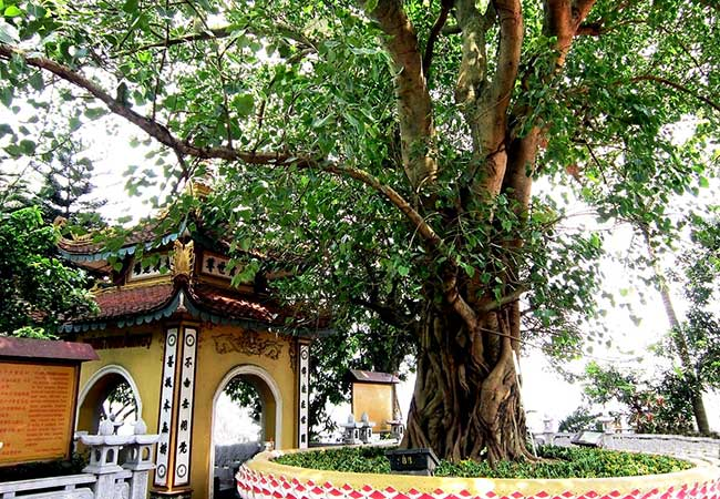 buddha tree in tran quoc pagoda