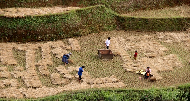 beautiful rice terraces in Vietnam drying rice
