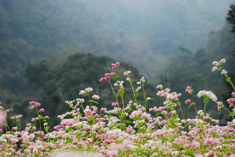 dong-van-stone-plateau-buckwheat-flower