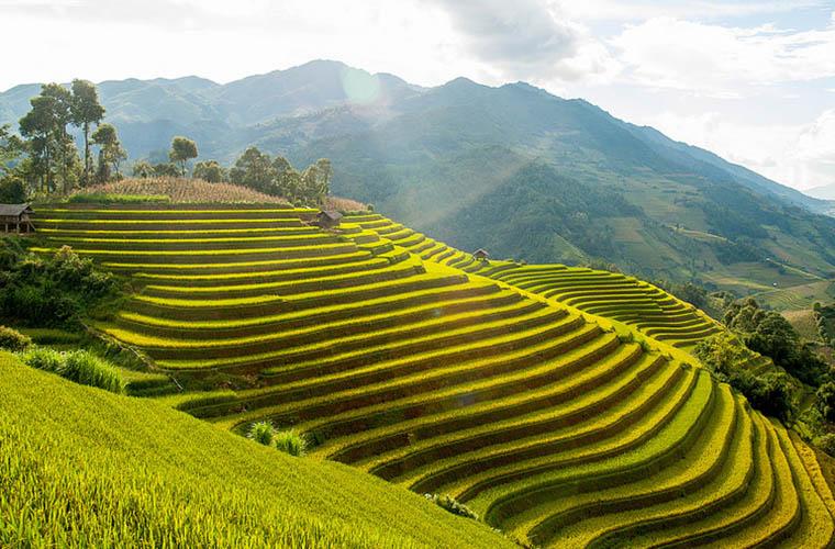 muong-hoa-valley-golden-rice-terrace