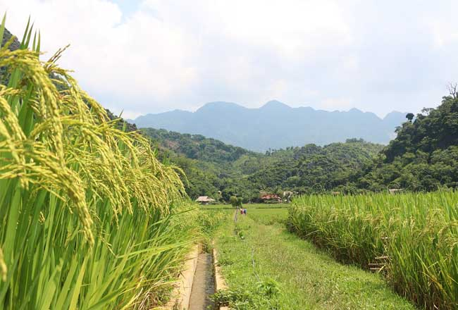 pu luong nature reserve green rice terace