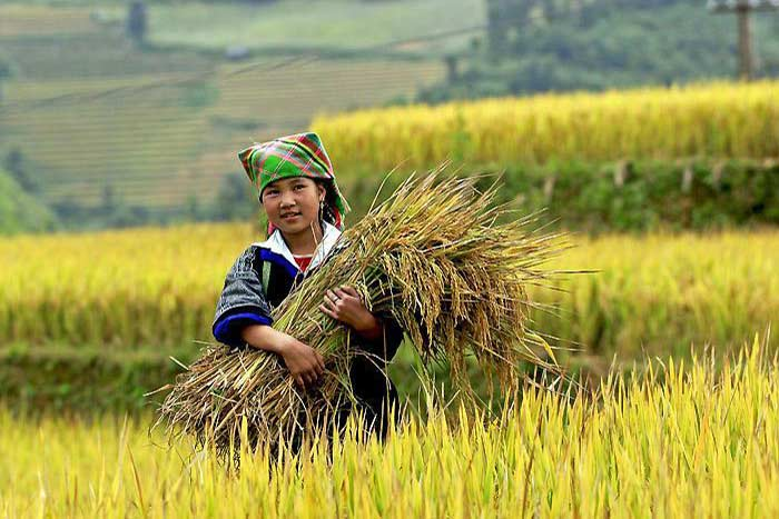 rice terraced mu cang chai hmong girl