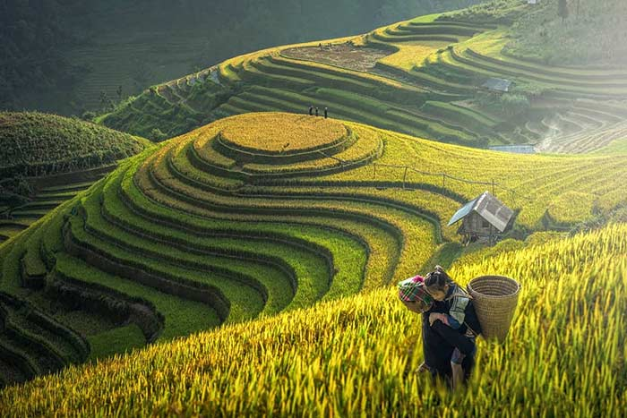 rice terraced mu cang chai la pan tan village