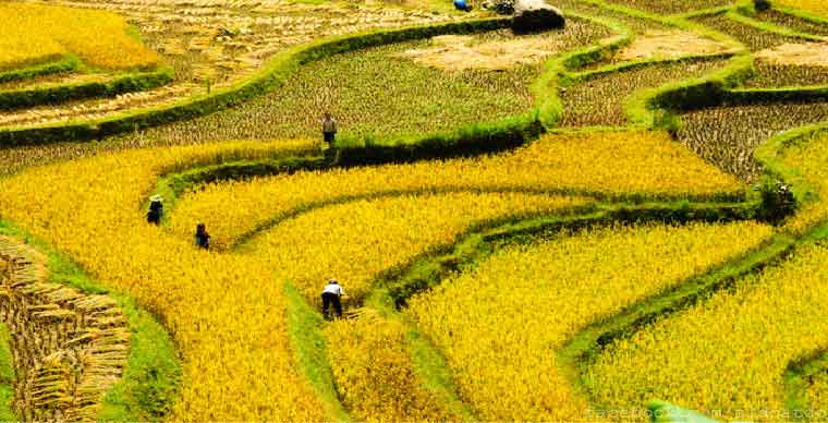 rice-terace-fields-in-sapa-what-to-do-in-sapa