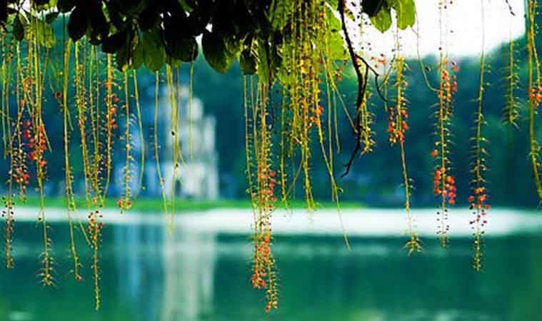 sword-lake-loc-vung- flower