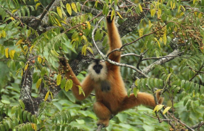 the-majestic-beauty-of-cao-bang-trung-khanh-eastern-black-crested-gibbon-sanctuary