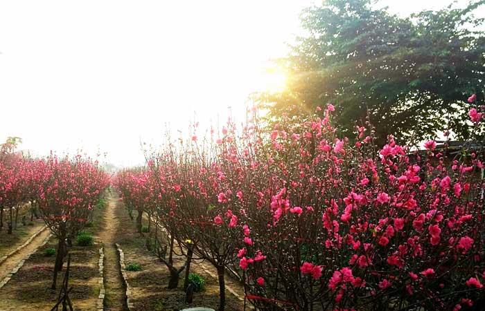 vietnamese-lunar-new-year-cherry-blossom