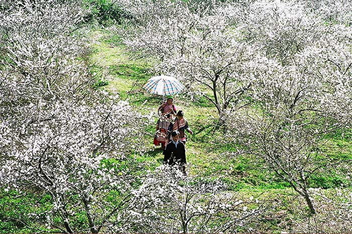 visit bac ha in 1, 2 or 3 days flowering