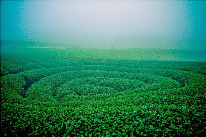 visit son la vietnam tea hill