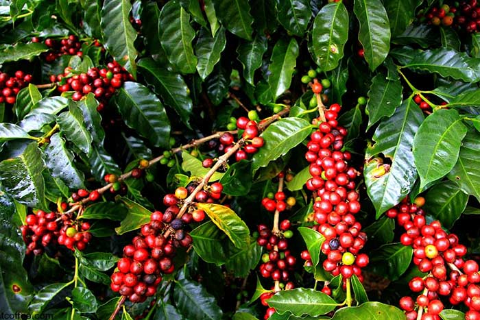 what to see in kontum coffee plantation